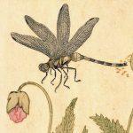 勝ち虫「トンボ」の秋津は日本国名⁈