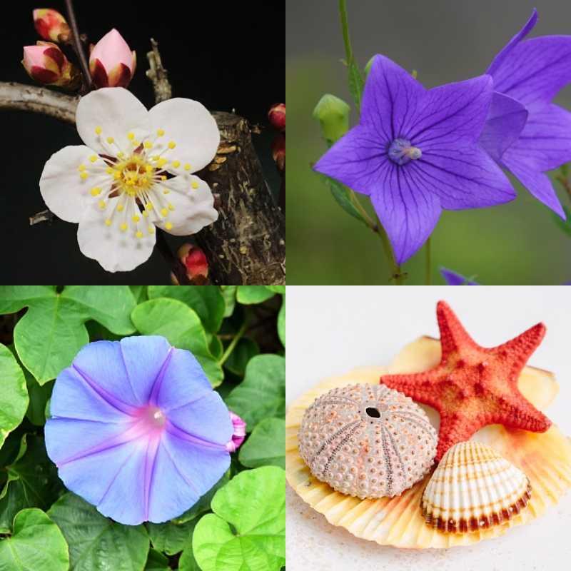 梅の花、桔梗、朝顔、ヒトデ